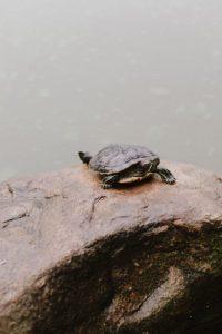 central park turtle